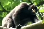BTJG Chimpanzee