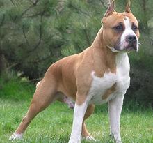 Brown-pitbull-dog-terrier.jpg