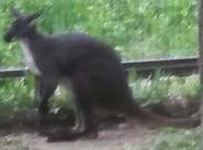 Cleveland Metroparks Zoo Kangaroo