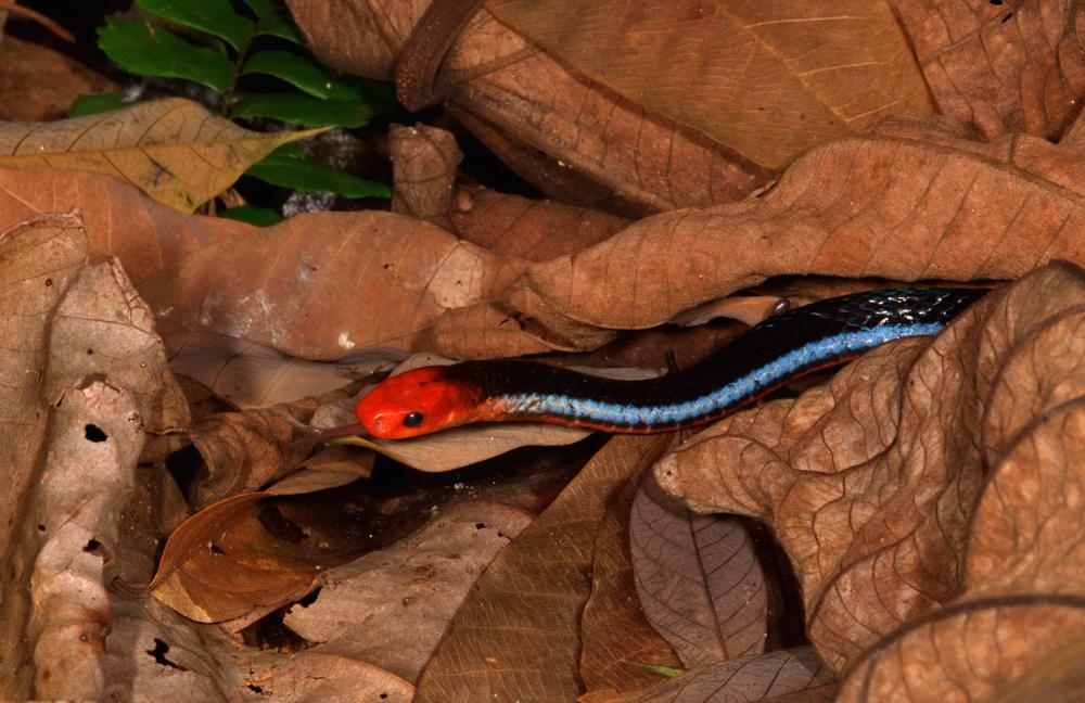 Blue Malayan Coral Snake