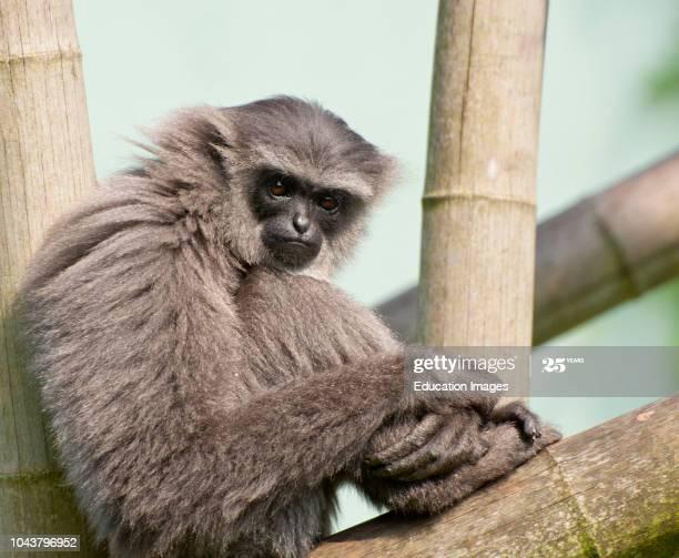 Muller's Gibbon