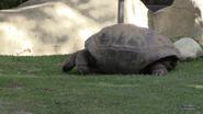 LA Zoo Tortoise