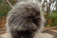 Porcupine, North American