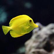 Tang, Yellow