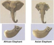 African v asian elephants