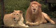 Cincinnati Zoo South African White Lions