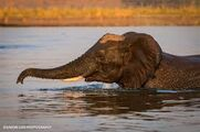 Elephant Swimming In Waterhole