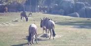 Fresno Zoo Wildebeests