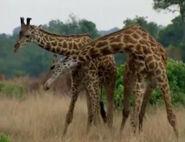 HugoSafari - Giraffe17