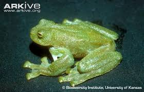 Burrowes' Giant Glass Frog