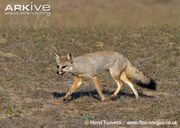 Indian-fox-running.jpg