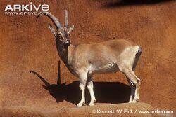 Male-bezoar-wild-goat.jpg