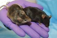 Male and Female Mice