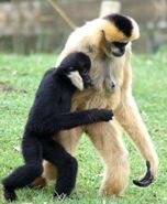 Male and female crested gibbon
