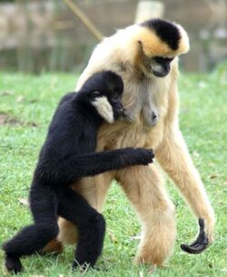 Male and female crested gibbon.jpg