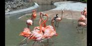 Toledo Zoo Flamingos
