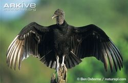 Vulture, American Black.jpg