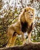 African Lion (Animals)