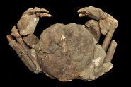 Avitelmessus grapsoideus