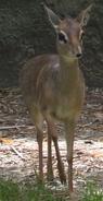Baton Rouge Zoo Dik-Dik