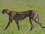 CheetahImage