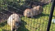 Columbus Zoo Capybaras