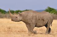 Eastern Black Rhinoceros (V2)