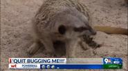 El Paso Zoo Meerkat