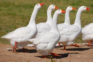 Embden-geese