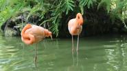 Greenville Zoo Flamingos