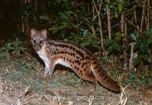Jabady-civet-carnivore-Eupleridae-endemic-000407.jpg