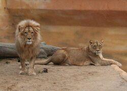 Katanga lion and lioness.jpg