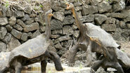 Male and Female Galápagos Tortoises
