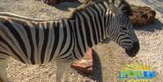 Naples Zoo Zebra