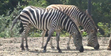 Pittsburgh Zoo Zebras