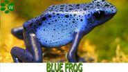 Poison Dart Frog, Blue
