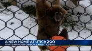 Utica Zoo gibbon
