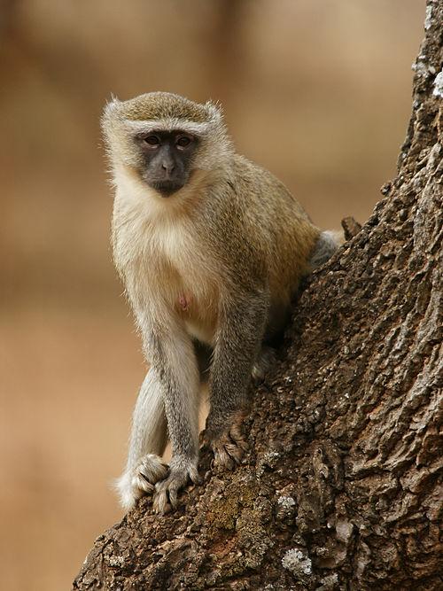 Malbrouck Monkey