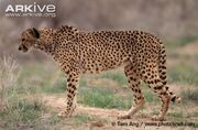Asiatic-cheetah-Acinonyx-jubatus-venaticus.jpg