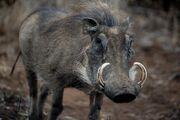 Common Warthog.jpg