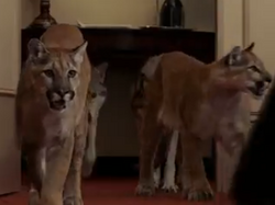 Evan Almighty Cougars.png