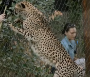 Fresno Chaffe Zoo Cheetah