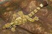 Kuhl's Flying Gecko (Ptychozoon kuhli) (8744026399)