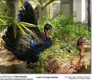Male and Female Congo Peafowl