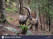 Male and Female Ibexes