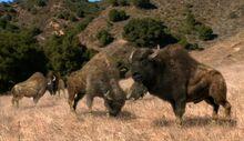 NG.Prehistoric.Predators.01of03.Sabertooth.Dvdrip.XviD.MP3.LionsDen.avi snapshot 43.30 -2016.10.07 04.38.57-.jpg