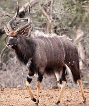 Nyala-Bull-Kruger-Park-Winter.jpg
