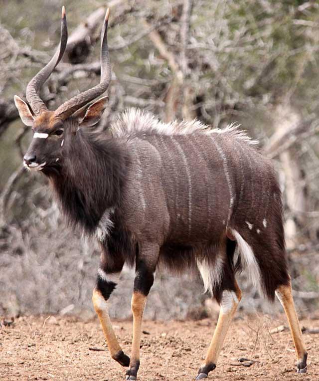 Lowland Nyala