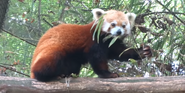 Omaha Zoo Red Panda