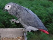 Parrot, African Grey